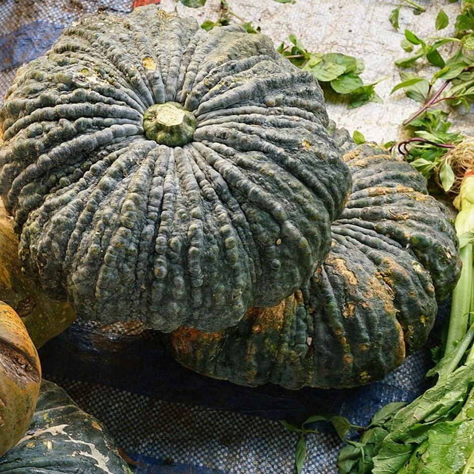 pumpkin / Cucurbita pepo 'Marina di Chioggia'