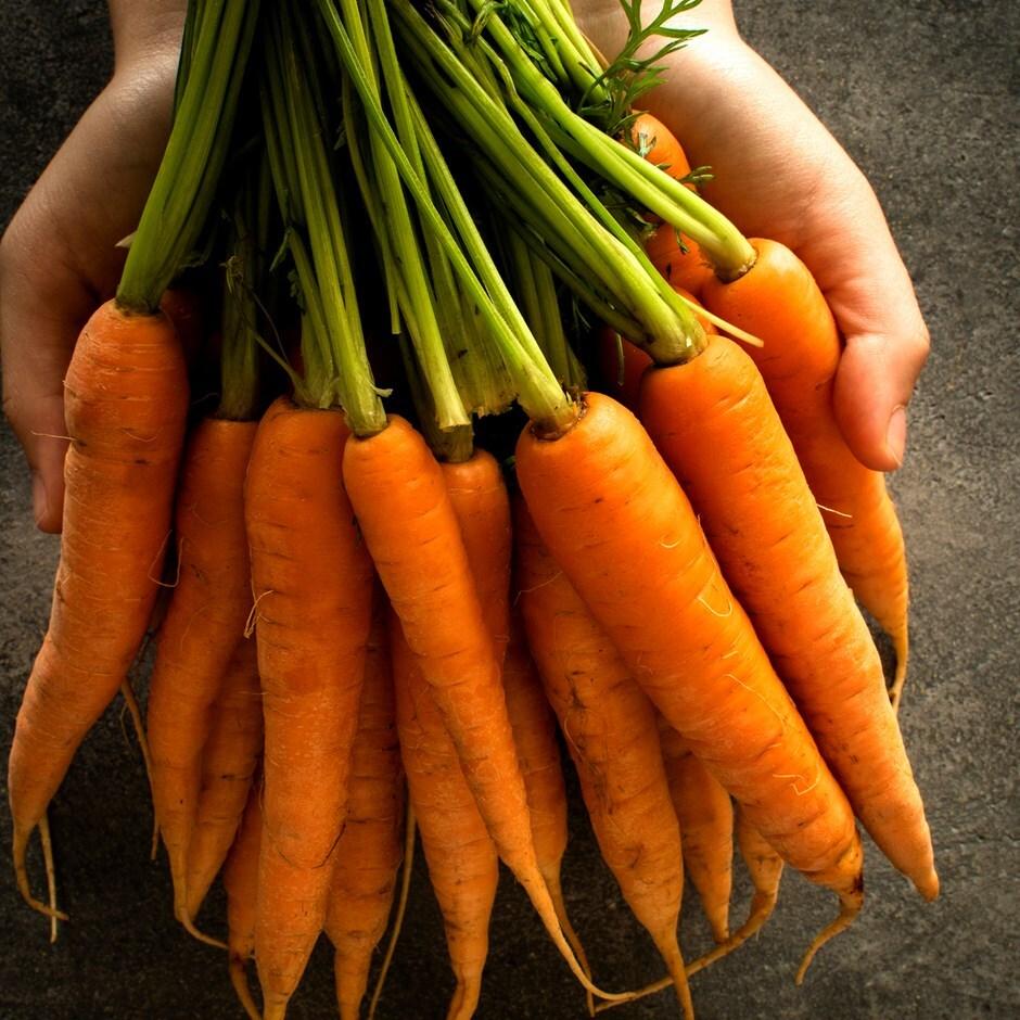 carrot / carrot /  Daucus carota 'Nantese of Venice'