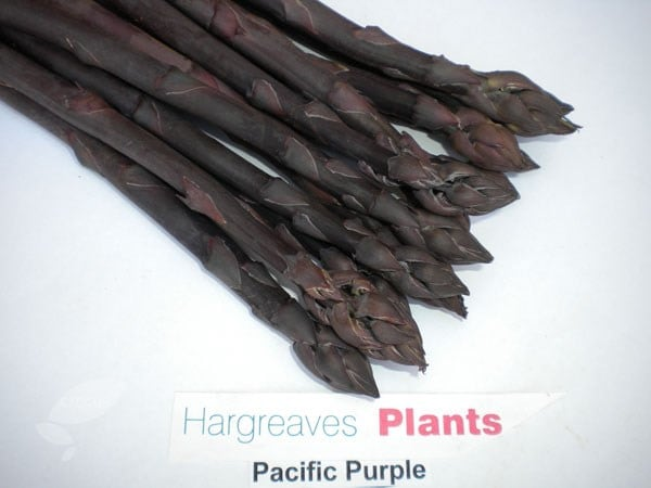asparagus 'Pacific Purple'