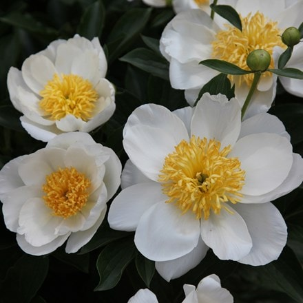 Paeonia lactiflora Jan van Leeuwen