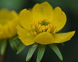 winter aconite - in the green
