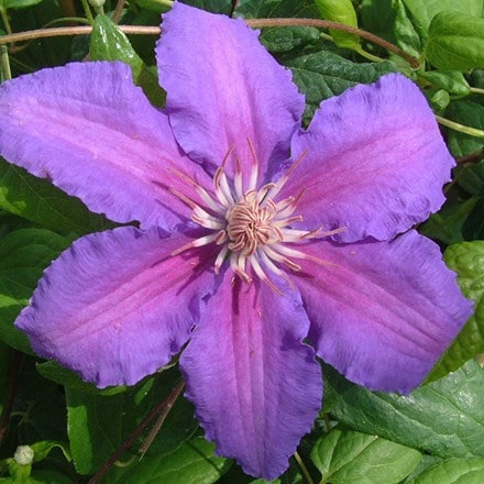 Clematis Prince Philip