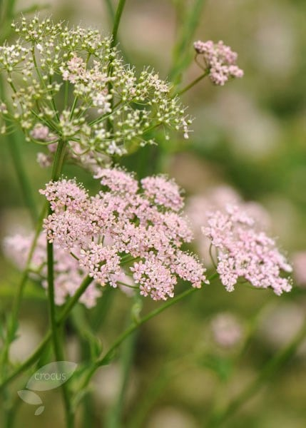Pimpinella major Rosea