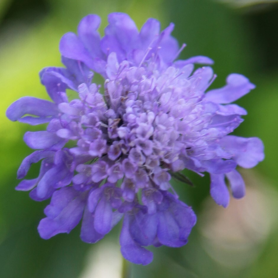 Buy Pincushion Flower Scabiosa Columbaria Delivery By Waitrose