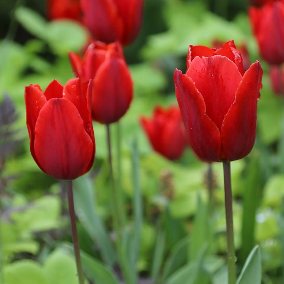 Buy triumph tulip bulbs Tulipa Couleur Cardinal: £3.99 Delivery by Crocus
