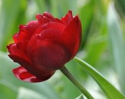 double late tulip bulbs ( syn Tulipa Anthracite )