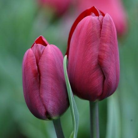 Tulipa Jan Reus