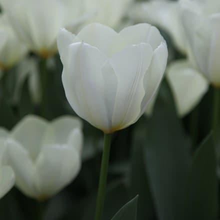 Tulipa Purissima