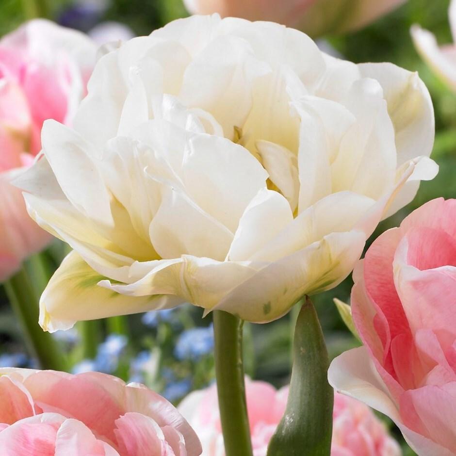double late tulip bulbs