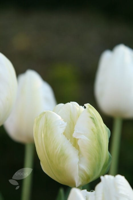 Buy Parrot Tulip Bulbs Tulipa White Parrot 163 2 5 Delivery