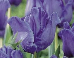 Tulipa Blue Parrot