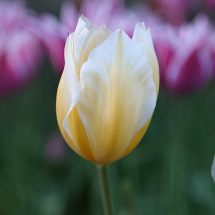 Tulipa Sweetheart