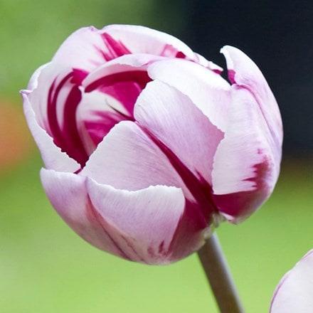 Tulipa Rems Favourite