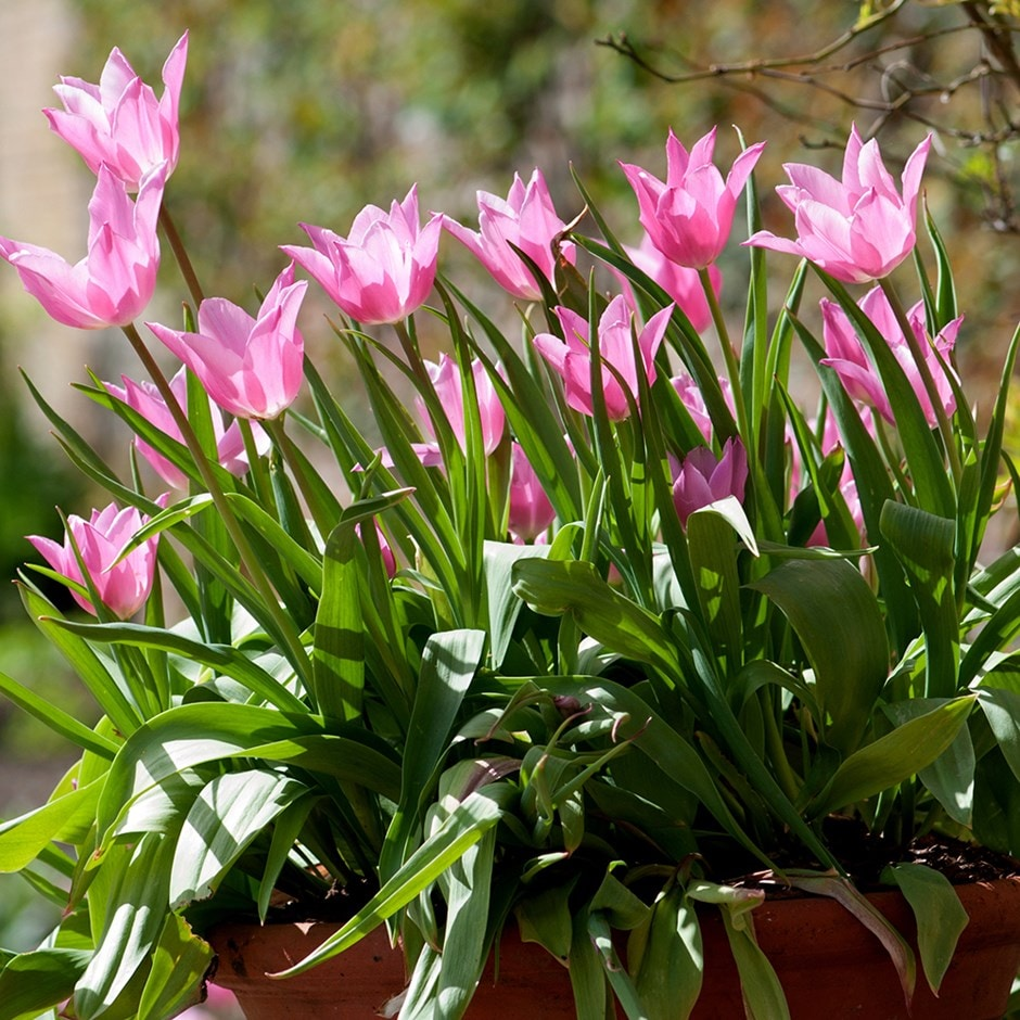 Buy Lily Flowered Tulip Bulbs Tulipa China Pink 30 Delivery By Crocus