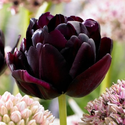 Tulipa Black Hero