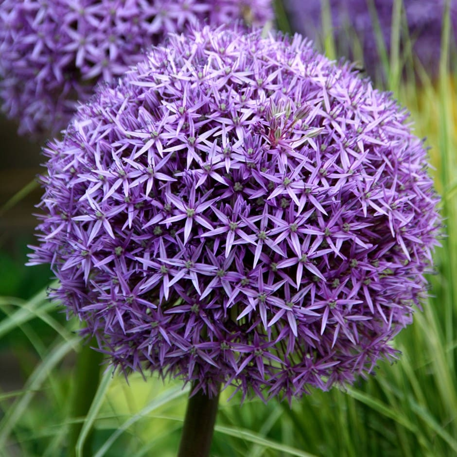 Buy Ornamental Onion Bulb Allium Globemaster Delivery