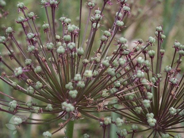 Buy Ornamental Onion Bulbs Allium Schubertii 163 7 99