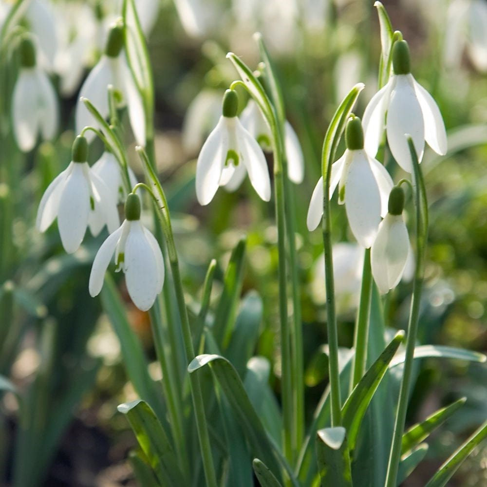 Buy Common Snowdrop Bulbs Galanthus Nivalis 163 3 99