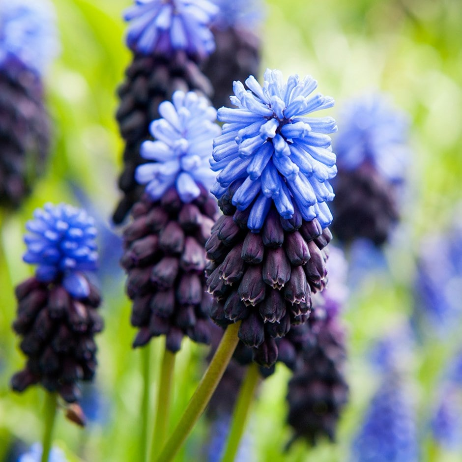 Buy Grape Hyacinth Bulbs Muscari Latifolium: £3.99