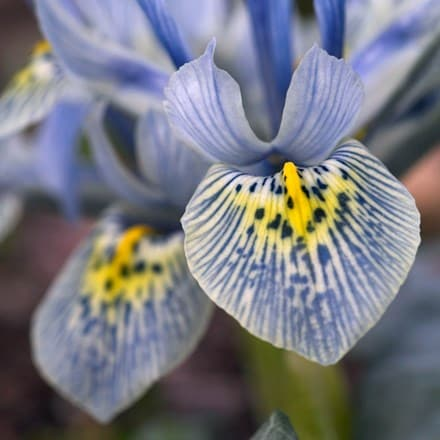 Iris Katharine Hodgkin (Reticulata)