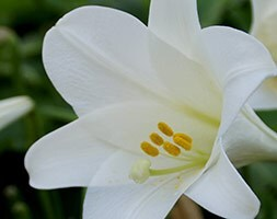 madonna lily bulb