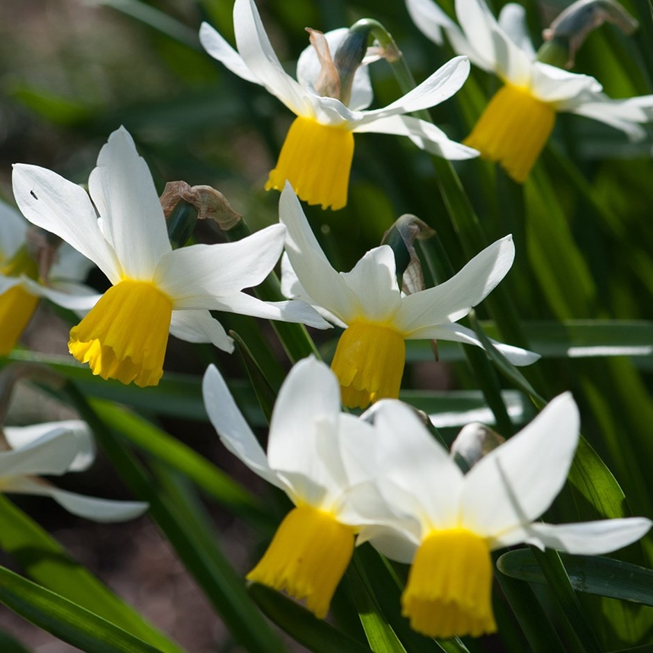 Buy Cyclamineus Daffodil Bulbs Narcissus Jack Snipe 163 4 99