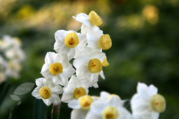Buy Tazetta Daffodil Bulbs Narcissus Avalanche 163 5 99