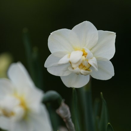 Narcissus Cheerfulness