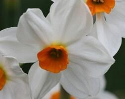 tazetta daffodil bulbs