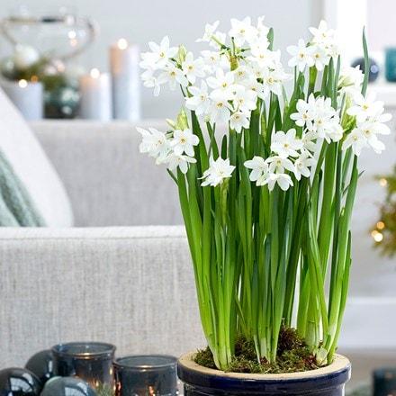 Narcissus papyraceus Ziva