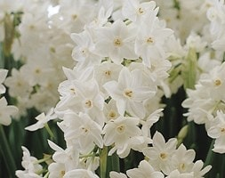 paperwhite - tazetta daffodil bulbs