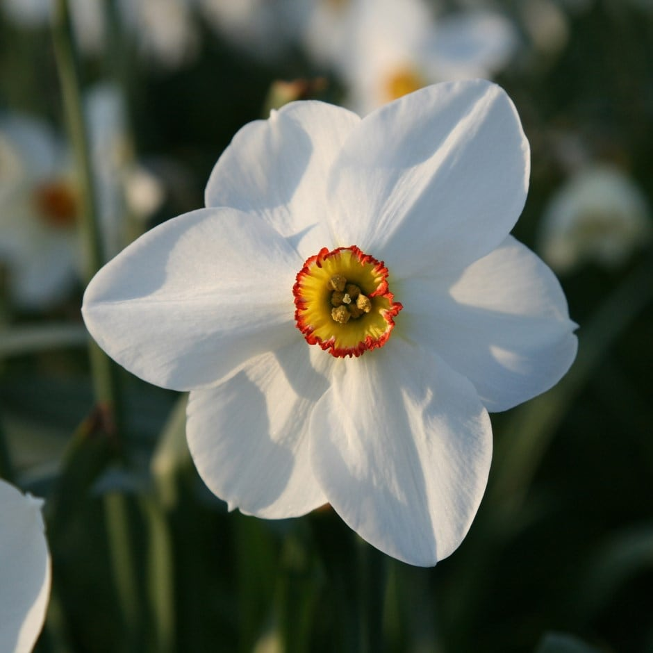 Buy poeticus daffodil bulbs Narcissus 'Actaea': Delivery ...