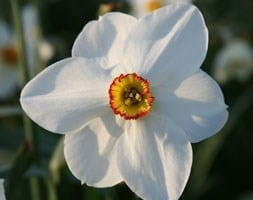 poeticus daffodil bulbs