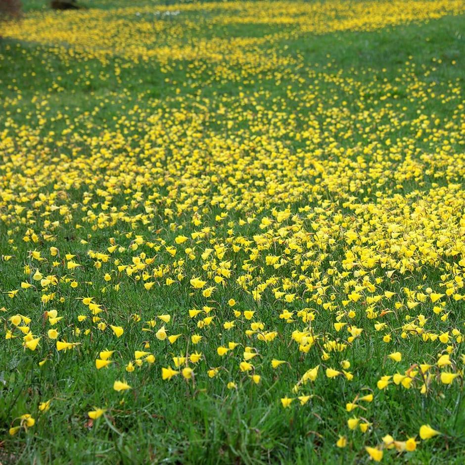 species daffodil bulbs