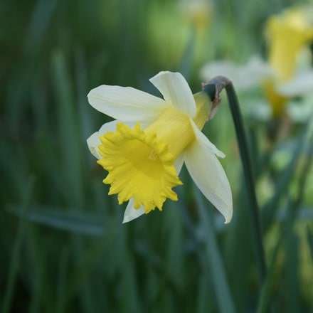 Narcissus lobularis (Haw.) Schult. and Schult. f.