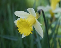 wild species daffodil bulbs