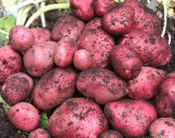 potato Red Duke of York