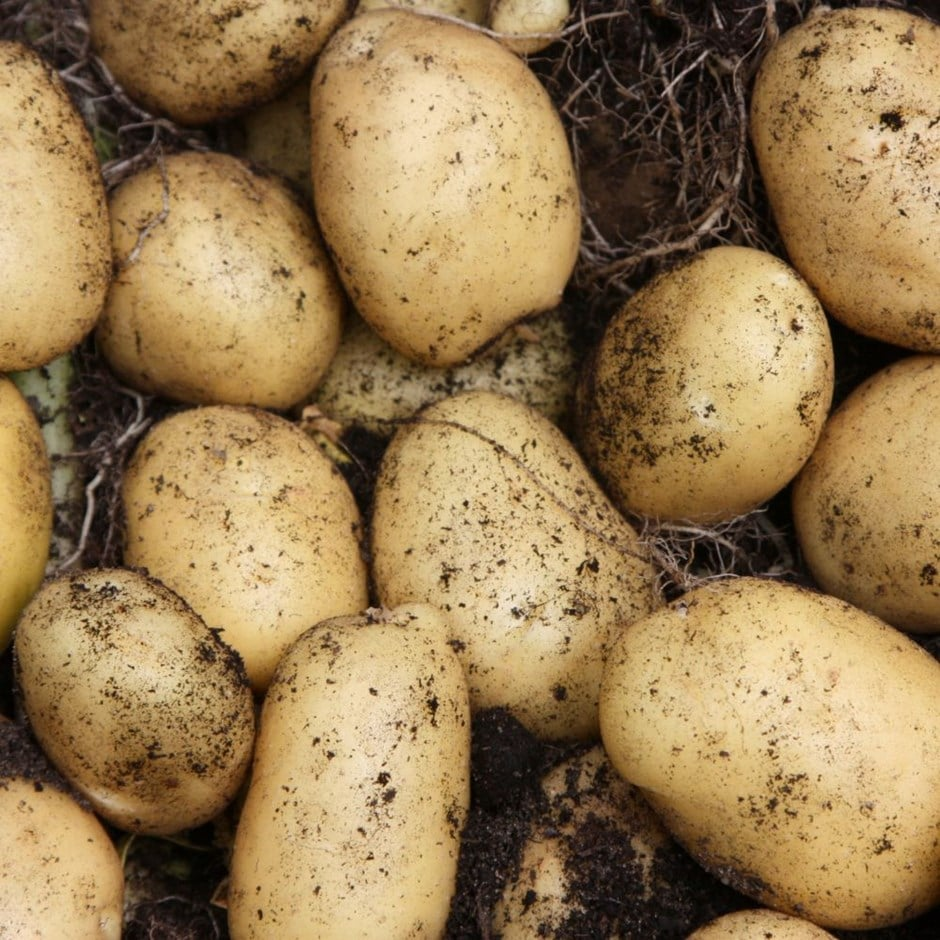 potato - ultra early, Scottish basic seed potato