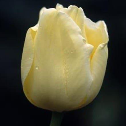 Tulipa Nicolas Hayek