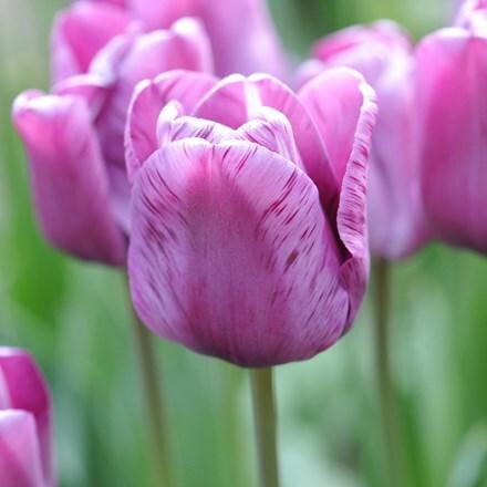Tulipa André Rieu