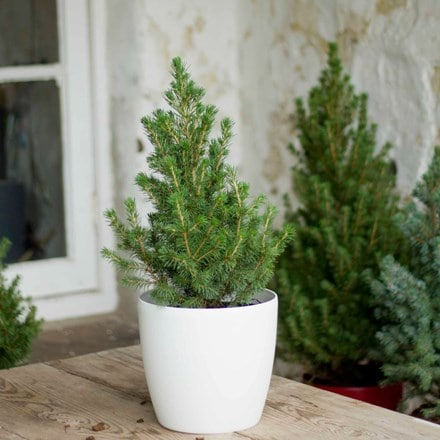 Tabletop Christmas tree and white pot