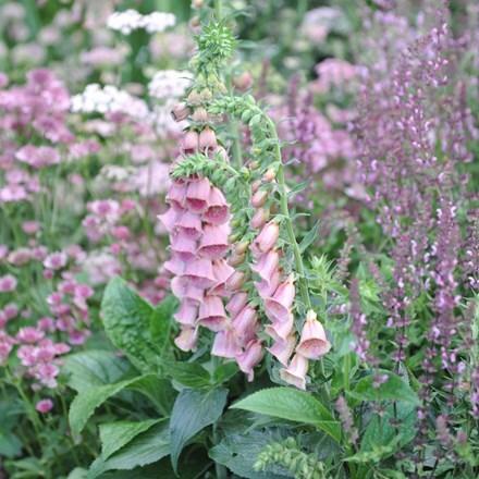 Astrantia and Digitalis plant combination