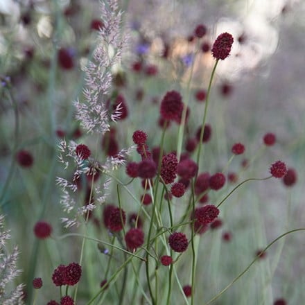 Sanguisorba and Calamagrostis plant combination