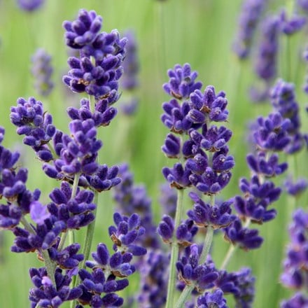 Lavandula Regal Splendour (PBR)