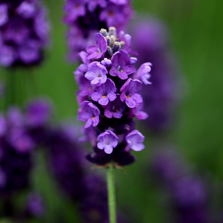 buy lavender lavandula angustifolia imperial gem delivery by crocus. Black Bedroom Furniture Sets. Home Design Ideas