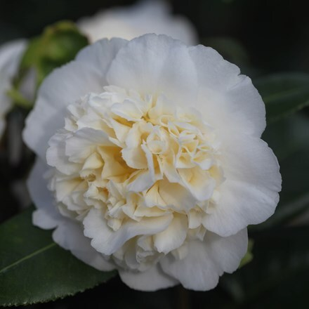 Camellia × williamsii Jury's Yellow