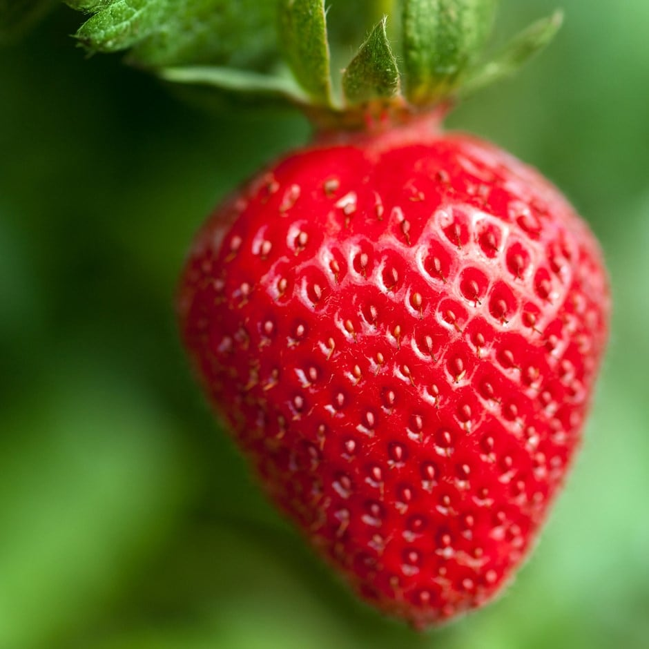 buy strawberry mid to late season fruiting strawberry fenella pbr