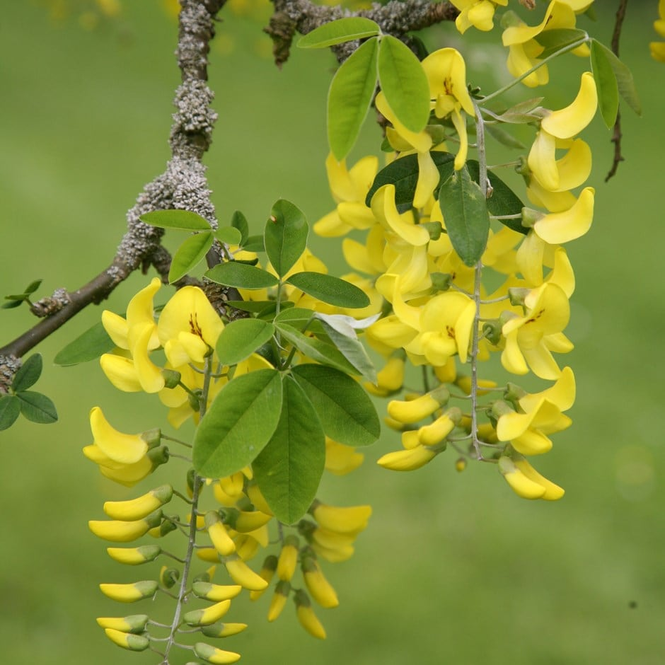 Buy scotch laburnum laburnum alpinum 39 pendulum 39 for Small garden trees rhs