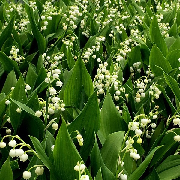 Buy Lily Of The Valley Convallaria Majalis 599 Delivery By Crocus