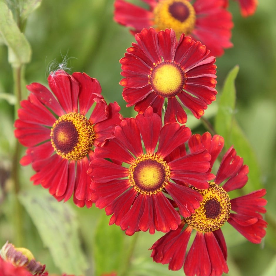sneezeweed ( syn. Ruby Tuesday )